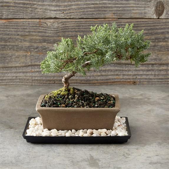 Green Mound Juniper Bonsai Tree Williams Sonoma