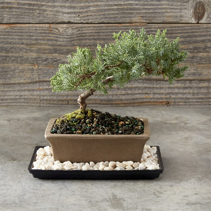 Green Mound Juniper Bonsai Tree Williams Sonoma